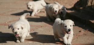 Antes de adquirir un cachorro