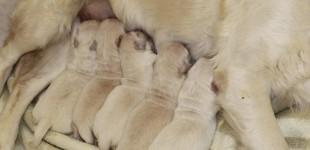 Nacimiento Camada Cachorros