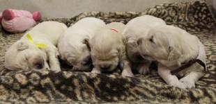 Cachorros 12+1 Dias