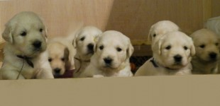 Cachorritos con 6 semanas